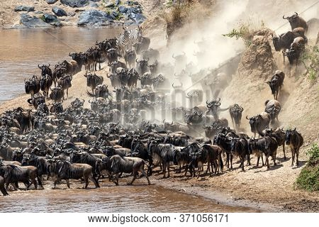 Pressure mounts as more and more wildebeest push the herd forward into the Mara River. Annual Great Migration in the Masai Mara, Kenya.