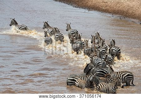 A herd of zebra cross the Mara River during the annual Great Migration in the Masai Mara, Kenya.
