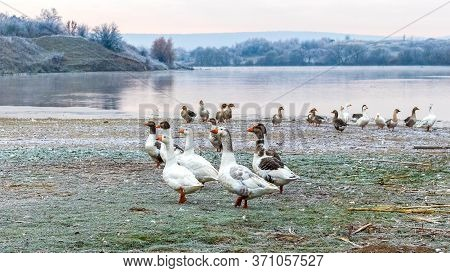 A Flock Of Geese On The River Bank In Frosty Weather. Breeding Geese