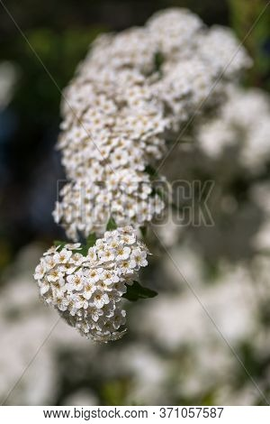 A Branch Of Profusely Blooming White Spiraea With Selective Focus And Blurred Background