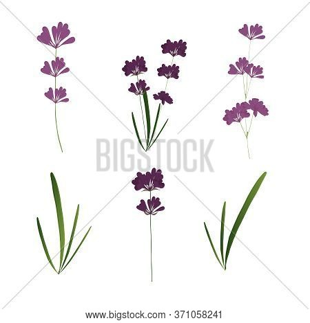 Set With Flowers, Buds And Leaves Of Lavender On A White Background. Lavender, Pink, Purple Flowers