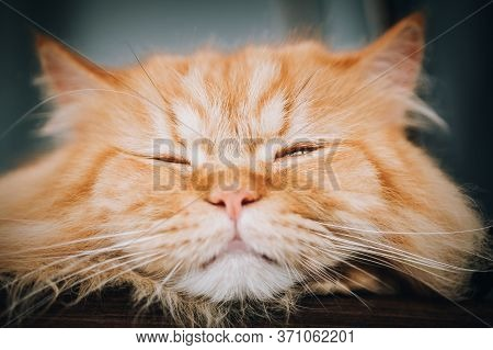 Close-up Detail Portrait Of Cute Orange Cat Sleeping And Resting