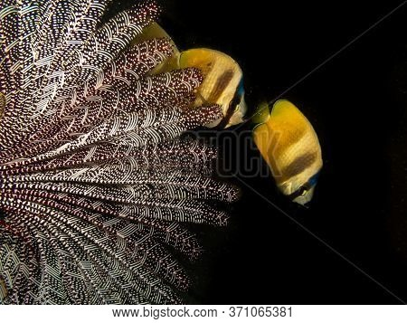 Klein's Butterflyfish (chaetodon Kleinii) With A Sea Fan At A Puerto Galera Reef In The Philippines.