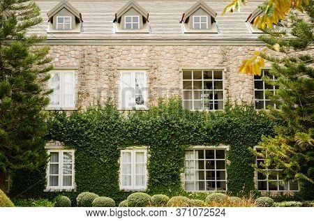 Creeping Fig Or Creeping Rubber Fig Is  Green Creeper Plant Catch On Bilding Wall