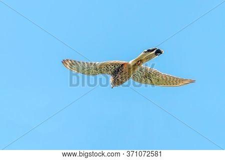 Common Kestrel (falco Tinnunculus) Common Kestrel In Flight