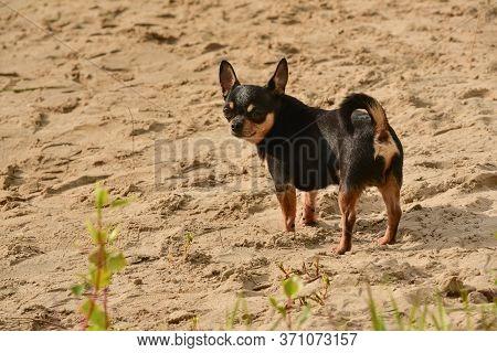Chihuahua Dog Breed. Portrait Of A Cute Purebred Puppy Chihuahua Near The River The River. Chihuahua