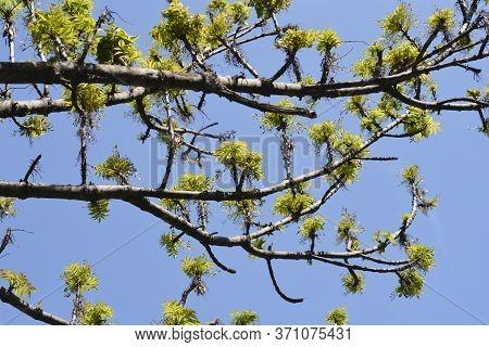 Narrow-leaved Tree - Latin Name - Fraxinus Angustifolia