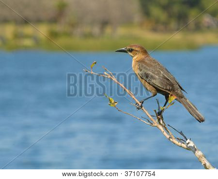 Female Grackle on twig at waters edge