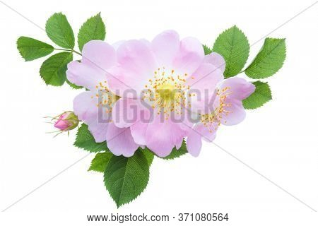Light pink Roses with green leaves isolated on white. Rosa canina
