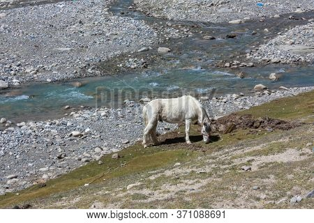 A White Eating Grass In Tibet On Trekking Route Around Mountain Kailash Near A River With Rocky Shor