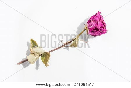 Withered Pink Rose Flower On A White Background.