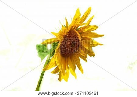 A Tall North American Plant Of The Daisy Family, With Very Large Golden Flowers. Sunflowers Are Cult