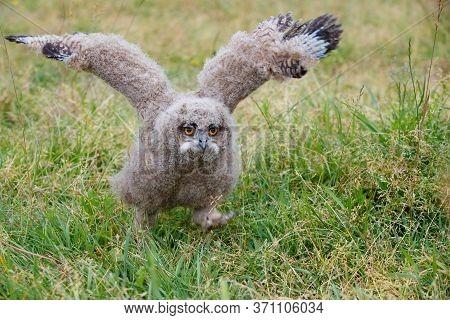 Cute Juvenile European Eagle Owl (bubo Bubo) Walking Over A Meadow In Gelderland In The Netherlands.