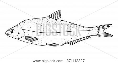 Vimba Bream. Hand Drawn Realistic Black Line Illustration.
