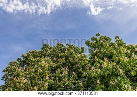 Foliage And Flowers Of Chestnut Horse-chestnut Tree Flowers And Leaves With Sky.