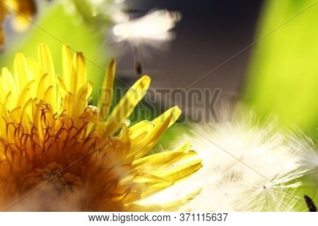 White Dandelion In A Meadow Next To Yellow Dandelion Flowers. Closeup Of A White Dandelion And Yello