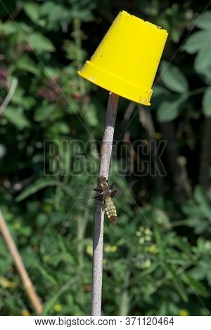 Bright Yellow Flower Pot Outshines Female Broad Bodied Chaser Dragonfly On Bamboo.