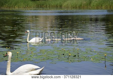 A Family Of Sibilant Swans With Chicks Swim Along The River. Small Goslings Swim After An Adult Swan
