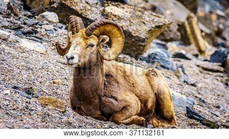 Bighorn Sheep Laying Down In Jasper National Park, Alberta, Canada