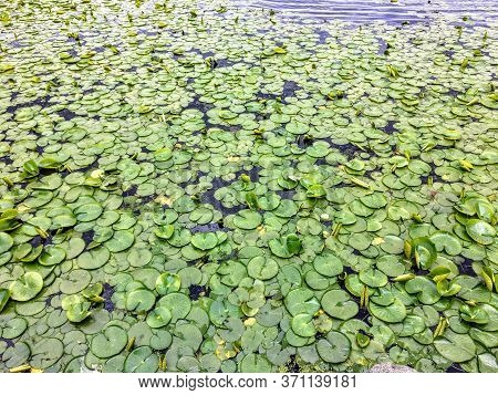 A Full View Of Many Lilly Pads Or Water Lillies Floating On The Surface Of A Pond.