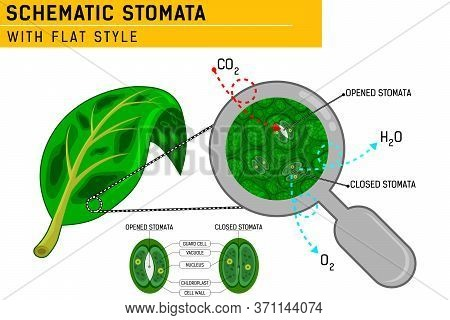 Magnified Leaf Stomata With Schematic Stomata Open And Closed. Vector Ilustration For Web Design, Ui