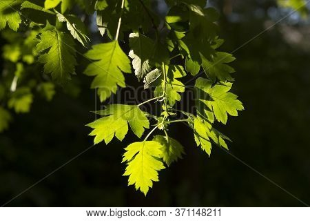 Fresh Green Spring Or Summer Leaves On A Black Background Of A Deep Thicket Of Forest Or Park. The S