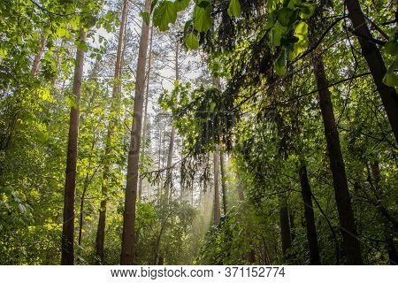 Rays Of Sunlight Break Through The Leaves In The Forest After Rain, Evaporation Of Moisture In The R