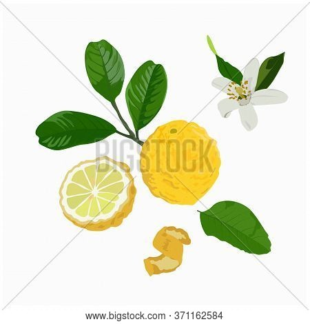 Vector Stock Illustration Of A Citron. Yellow Sour Citron Fruit Ripe Cut Into Pieces With Mint Leave