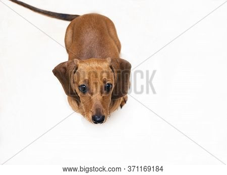 Ginger Dachshund Puppy, Isolate. Dachshund Sits On A White Background And Looks From The Bottom Up.