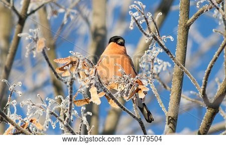 Bullfinch, Pyrrhula. Sunny Winter Frosty Morning. Bullfinch Sits On A Branch That Is Covered With Ho