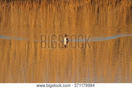 Great-crested Grebe, Podiceps Cristatus. Early Morning, A Bird Floating On The River, Beautiful Ligh