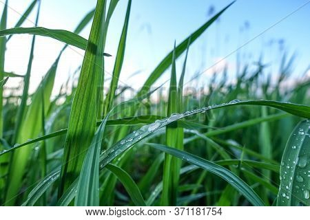 Green Grass With Large Drops Of Water On The Leaves