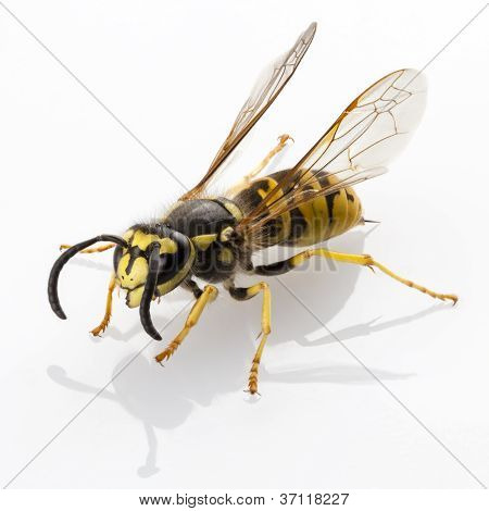 wasp isolated