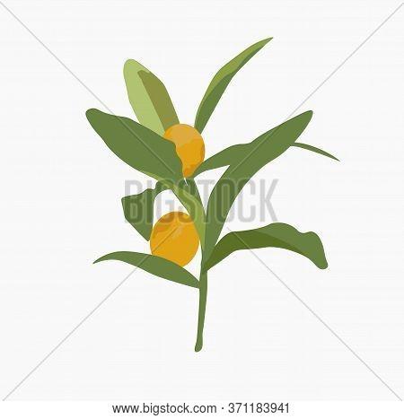 Vector Stock Illustration Of Kumquat Fruit.  Ripe Orange Juicy Round Fruit Fortunella On Green Leave