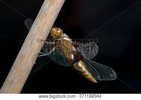 Macro Close Up Side View Of Female Broad Bodied Chaser Perched On Bamboo. Brown Large Dragonfly.