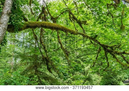 Gree Leave Surround Tree Branches Covered With Moss In The Pacific Northwest.