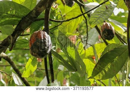 The Cocoa Tree With Fruits. Brown Cocoa Pods Grow On The Tree, Cacao Plantation. Close Up Of Light B