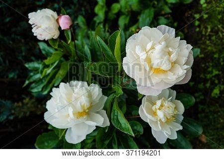 The Milk White Pentecost Rose Paeonia Lactiflora