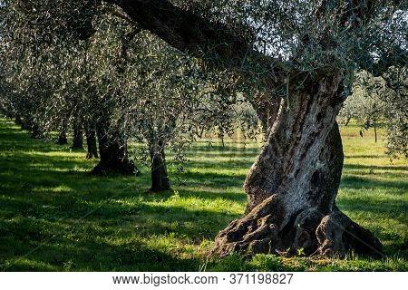 Centuries-old Olive Tree Near Castagneto Carducci, In The Heart Of The Livorno Maremma, In The Cente