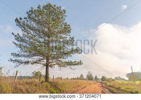 American Pine Tree (pinus Elliottii) On The Side Of The Dirt Road