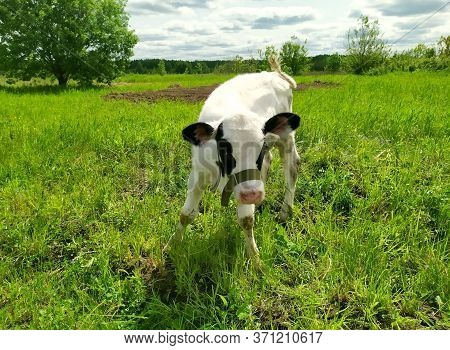 Cow On A Green Meadow. A Young Calf On A Green Field In The Countryside. Pasture For Cattle. Cow In