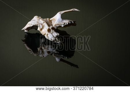 Isolated Human Left Sided Temporal Bone Of Skull On A Dark Background.lateral View