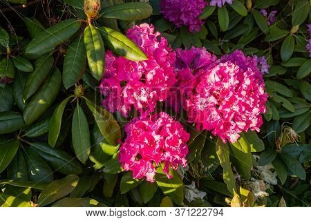 Red Flowers Of Rhododendron Nova Zembla. Purple Rhododendron. Flowers In A Garden. Blooming Flowers