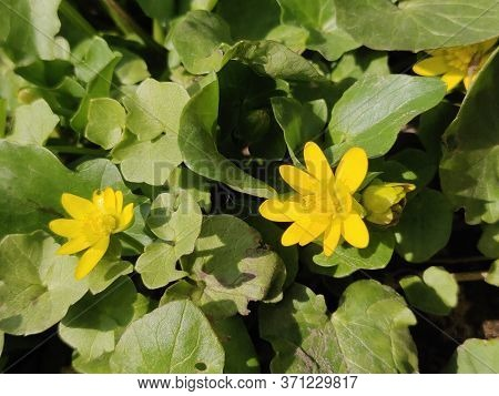 Ranunculus Acris (meadow Buttercup, Tall Buttercup, Common Buttercup, Giant Buttercup) Beautiful Yel