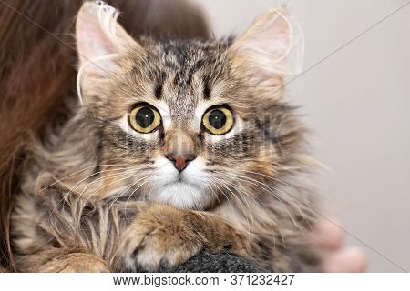 Portrait Of A Fluffy Cat On The Shoulder Of The Owner