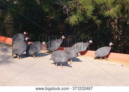Helmeted Guineefowl Birds Or Guinea Fowl Go Along The Road, Numida Meleagris