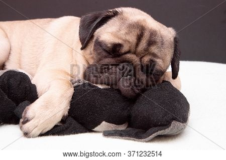 Pug Dog Sleeping With A Toy Cat On Bed