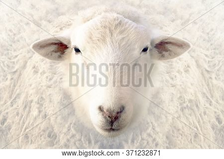Portrait Of A White Sheep. Sheep Look