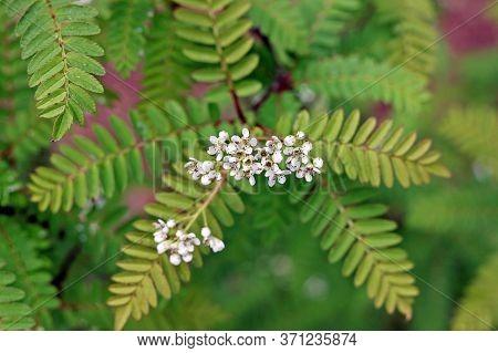 Sorbus Frutescens Or Sorbus Koehneana In Botany Garden
