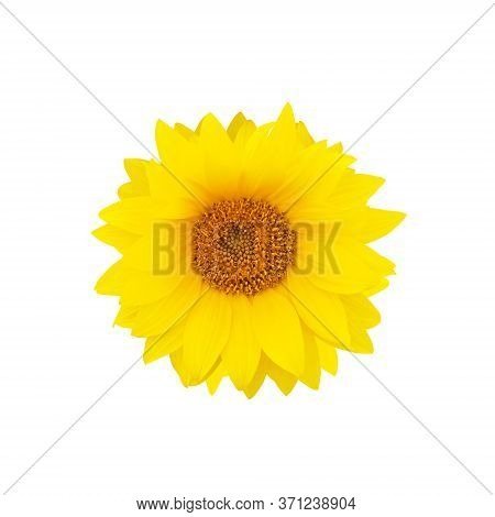 Yellow Sunflower Flower Isolated On White Background. Helianthus Annuus